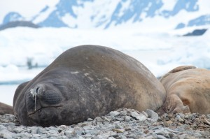 Leopard seals in the WAP, near the British Antarctic Survey's Rothera Station.  Leopard seals are a key ice dependent predator in the region.