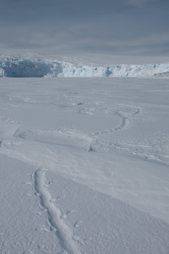 In case you ever have to track a penguin, this is what penguin tracks look like.