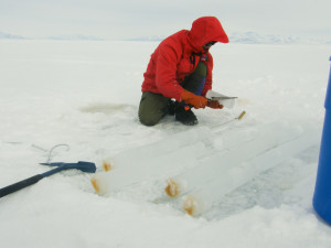 The amount of ice algal growth in McMurdo Sound sea ice in mid-October, covered by only a few centimeters of snow, is much greater than in the Arthur Harbor sea ice, covered by 30 cm of snow, despite that fact that it is mid-November.